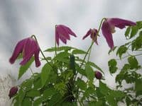 Clematis Ruby